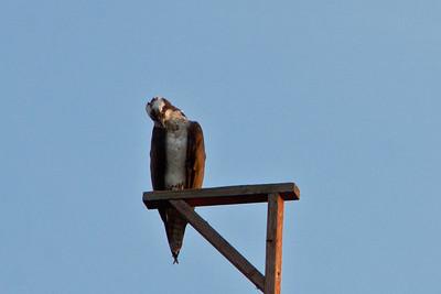 Ospreys' Nest, July, 2011