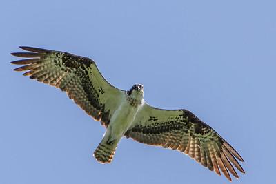 Osprey, 2013