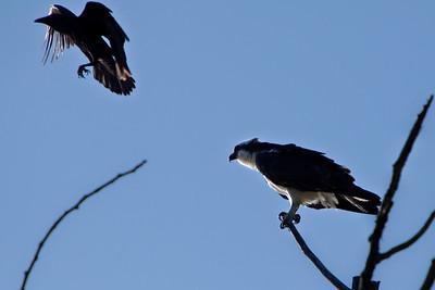 Osprey, May, 2012