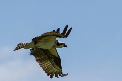 Osprey vs Western Kingbird, 2013