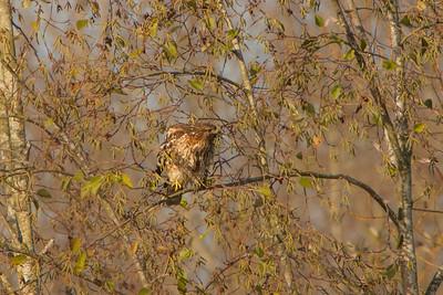 Red-shouldered Hawk, 2013