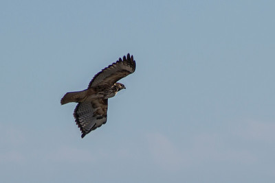 Red-tailed Hawk, 2014