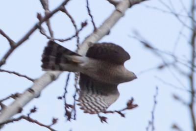 Sharp-shinned Hawk, 2011