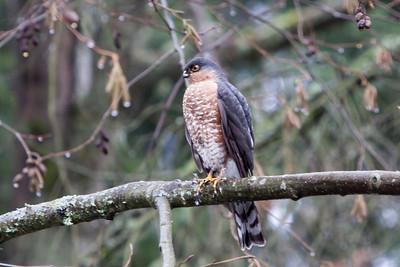 Sharp-shinned Hawk, 2009