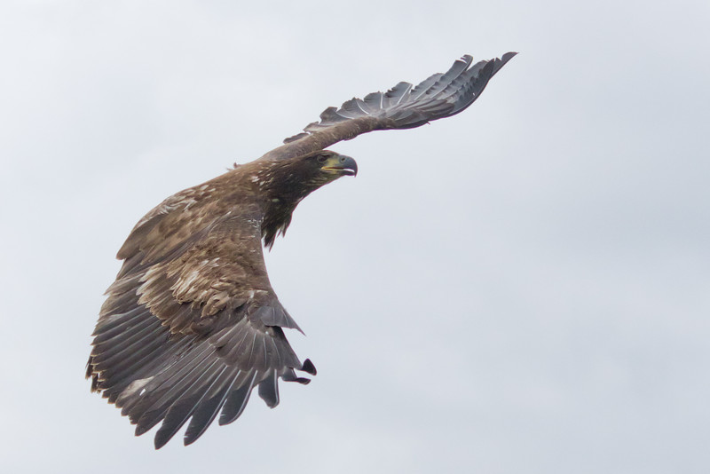 Juvenile Bald Eagle released after rehab from Wings of Wonder in Empire, MI - Oct 2014
