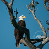 Bald eagle spotted in a tree alongside the Caloosahatchee River.