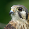 "Jaeda, American Kestrel, from Wings of Wonder in Empire, Mich. Read more about her at  <a href=""http://www.wingsofwonder.org/raptorFamily.html"">http://www.wingsofwonder.org/raptorFamily.html</a>"