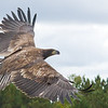 Juvenile Bald Eagle following release after rehab from Wings of Wonder in Empire, MI - Oct 2014