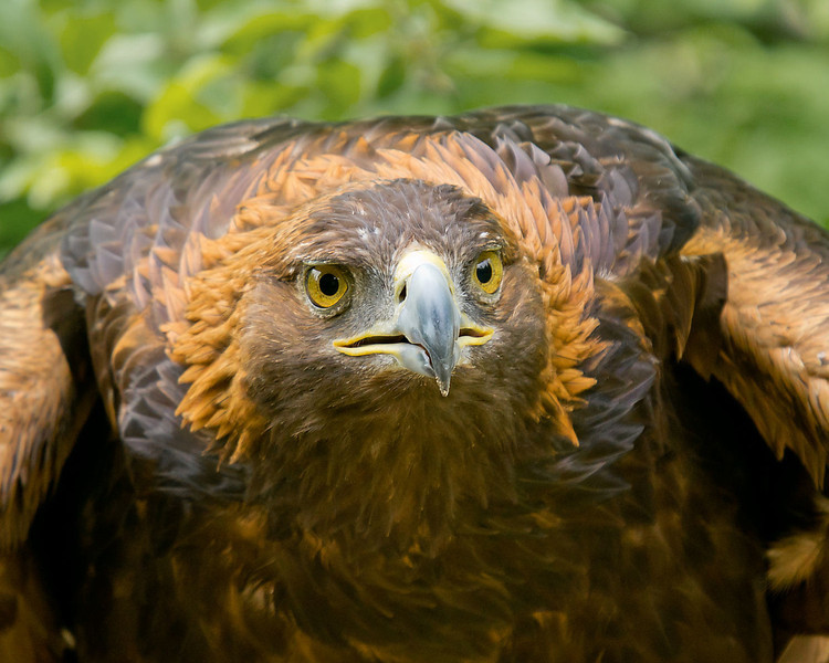 Golda, Golden Eagle and former resident of Wings of Wonder, a raptor rescue center, in Empire Michigan.