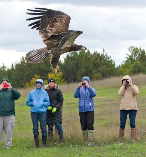Juvenile Bald Eagle takes flight after being released back into the wild following rehab at Wings of Wonder in Empire, MI - Oct 2014