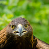 Golda, Golden Eagle and former resident from Wings of Wonder in Empire, Mich.