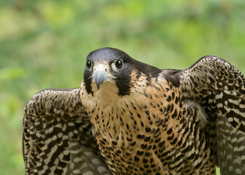 """Rita Mae, Peregrine Falcon from Wings of Wonder, Empire, Mich. Read more about her at  <a href=""""http://www.wingsofwonder.org/raptorFamily.html"""">http://www.wingsofwonder.org/raptorFamily.html</a>"""