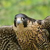 "Rita Mae, Peregrine Falcon from Wings of Wonder, Empire, Mich. Read more about her at  <a href=""http://www.wingsofwonder.org/raptorFamily.html"">http://www.wingsofwonder.org/raptorFamily.html</a>"