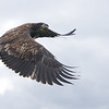 Juvenile Bald Eagle released after rehab from Wings of Wonder, Empire MI - Oct 2014