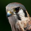 Jaeda, American Kestrel from Wings of Wonder in Empire, Mich.