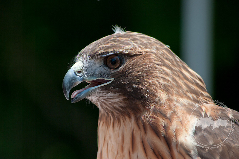 "Pearl, Red Tailed Hawk from Wings of Wonder in Empire, Mich. Read more about her at  <a href=""http://www.wingsofwonder.org/raptorFamily.html"">http://www.wingsofwonder.org/raptorFamily.html</a>"