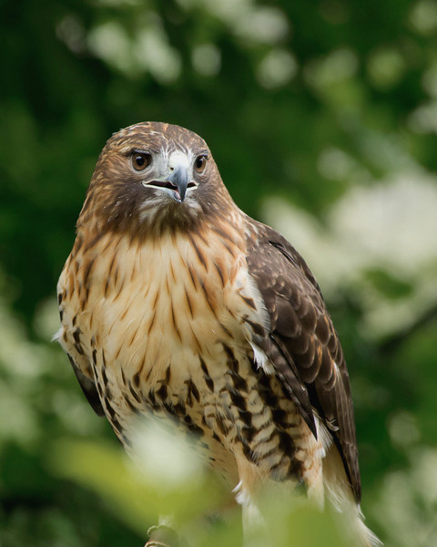Pearl, Red Tailed Hawk from Wings of Wonder, Empire, Mich.