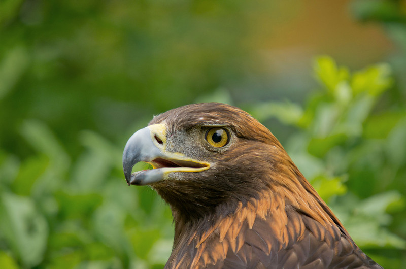 Golda, Golden Eagle and former resident from Wings of Wonder, Empire, Mich
