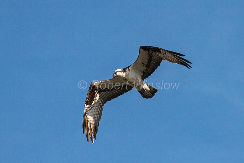 Osprey, Pandion haliaetus, Flying, Yellowstone National Park, Wyoming, USA, North America