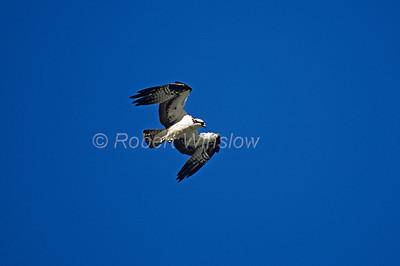 Osprey, Pandion haliaetus, Flying, Southwestern Montana, Colorado, USA, North America
