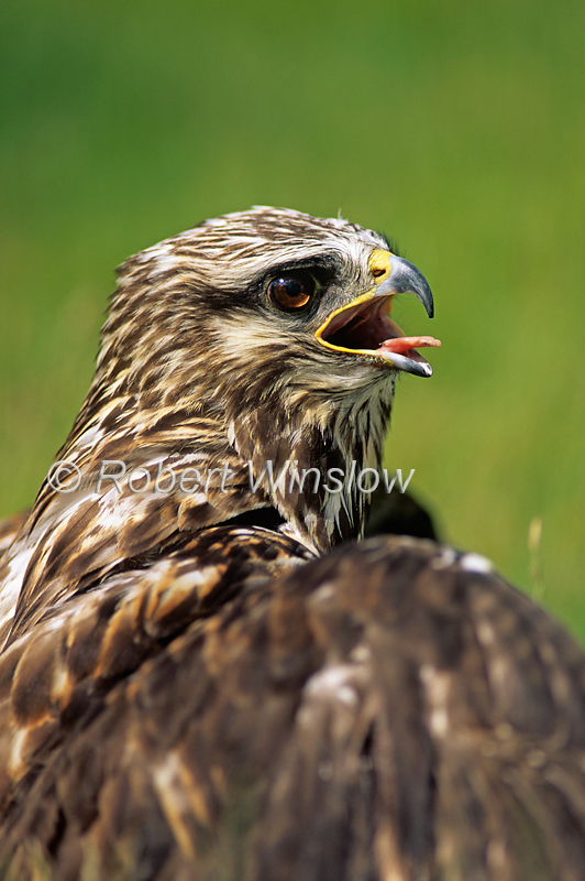 Rough-legged Hawk, Buteo lagopus, North America, controlled conditions