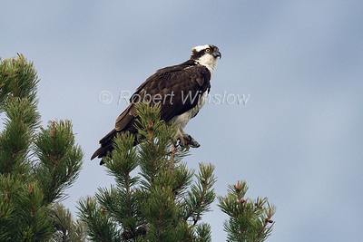 Osprey, Pandion haliaetus, Grand Teton National Park, Wyoming, USA, North America