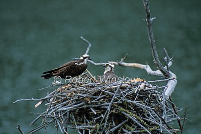 Osprey, Pandion haliaetus, on a nest, Southwestern Montana, Colorado, USA, North America