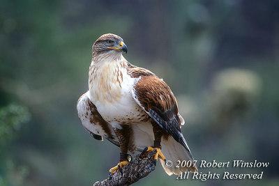 Ferruginous Hawk, Buteo regalis, Arizona-Sonora Desert Museum, Tucson, Arizona