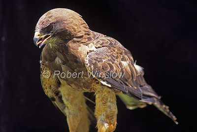 Swainson's Hawk, Buteo swainsoni, North America, controlled conditions