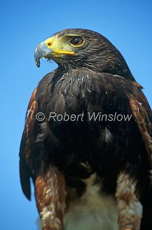 Harris's Hawk, Parabuteo unicintus, Controlled Conditions
