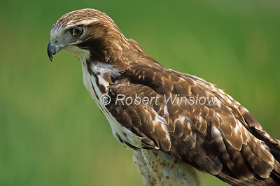 Red-tailed Hawk, Buteo jamaicensis, North America, controlled conditions