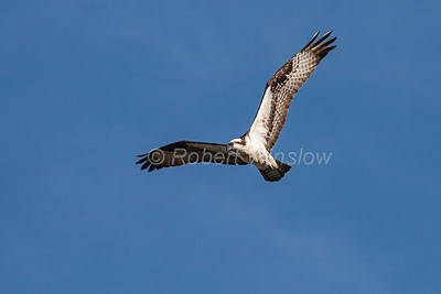 Osprey, Pandion haliaetus, Flying, Yellowstone National Park, Wyoming, USA, North America