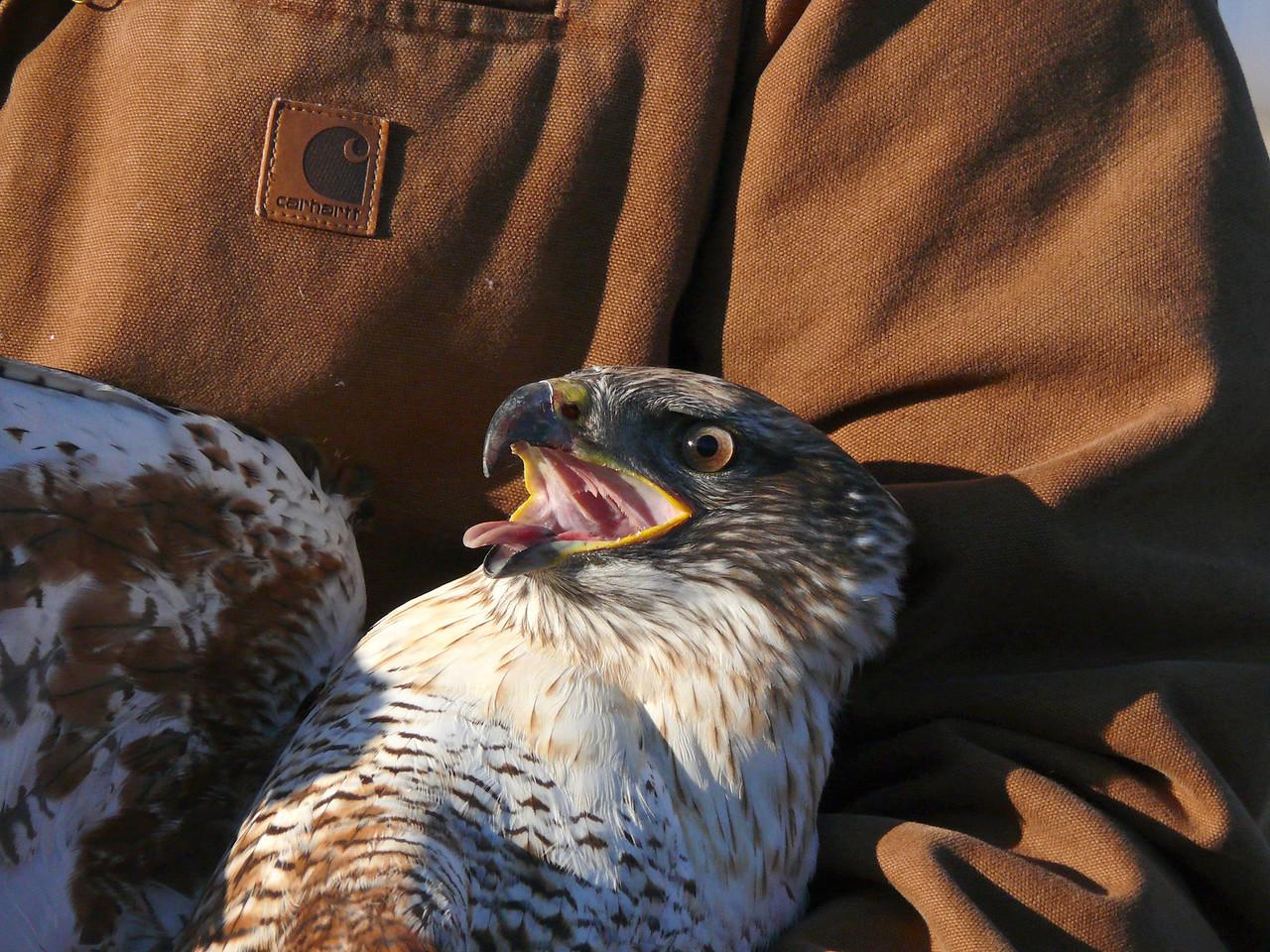 464 Ferruginous hawk