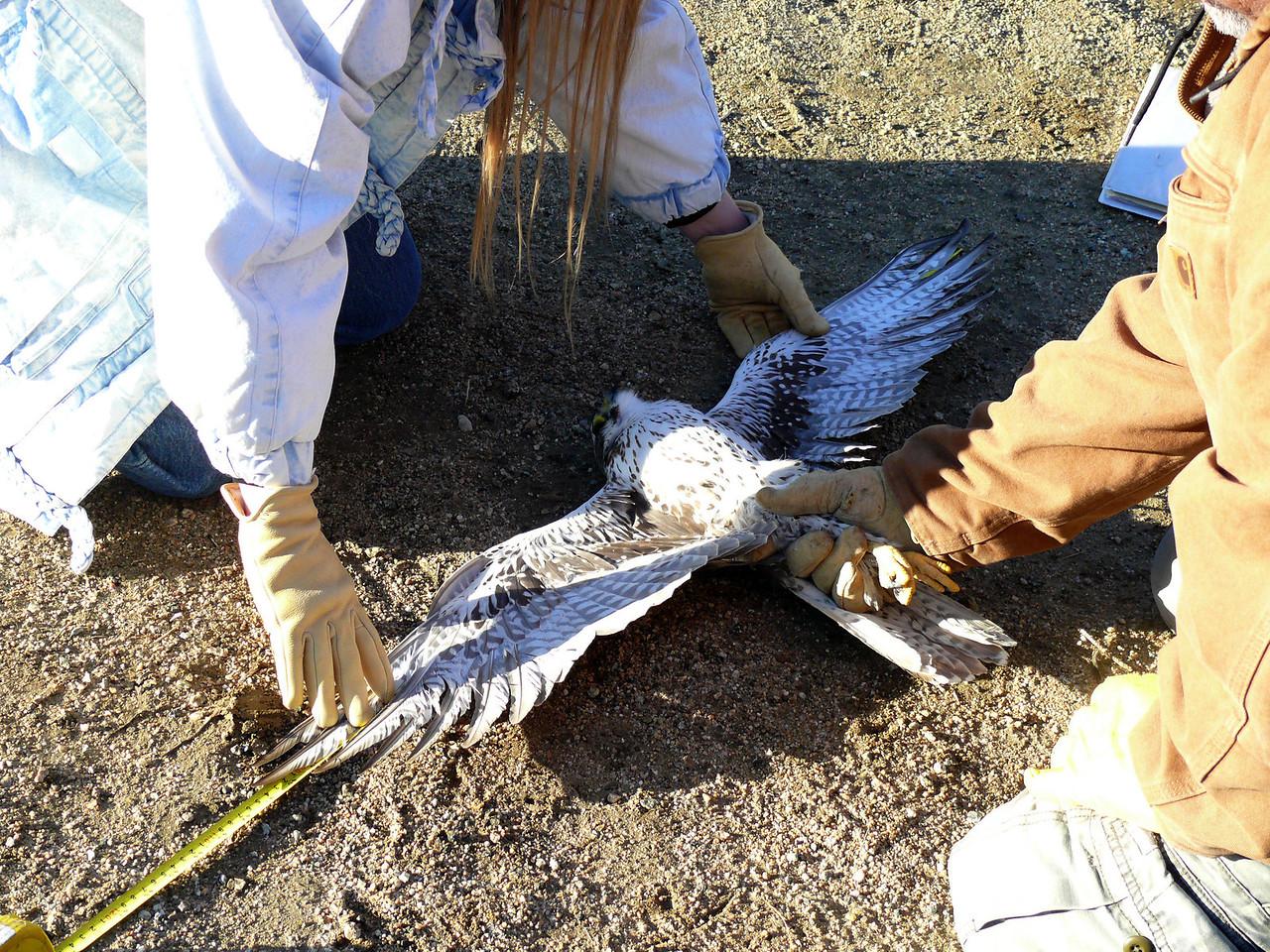 460 Prairie Falcon