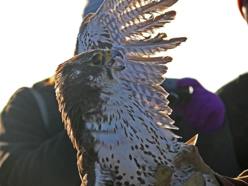 426 Prairie Falcon