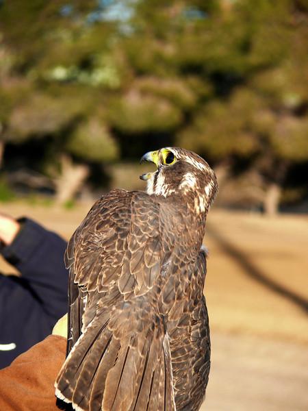 439 Prairie Falcon