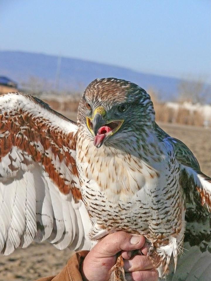 505-2 Ferruginous hawk