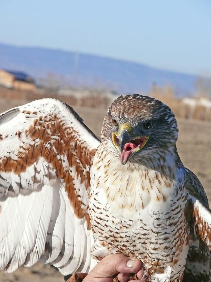 507 Ferruginous hawk