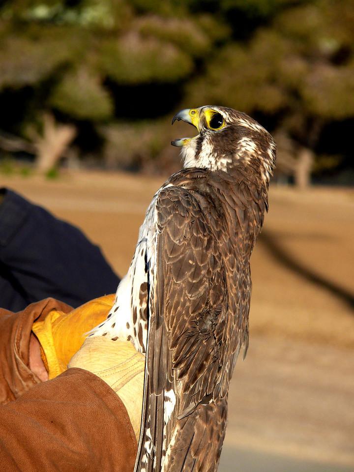 441 Prairie Falcon