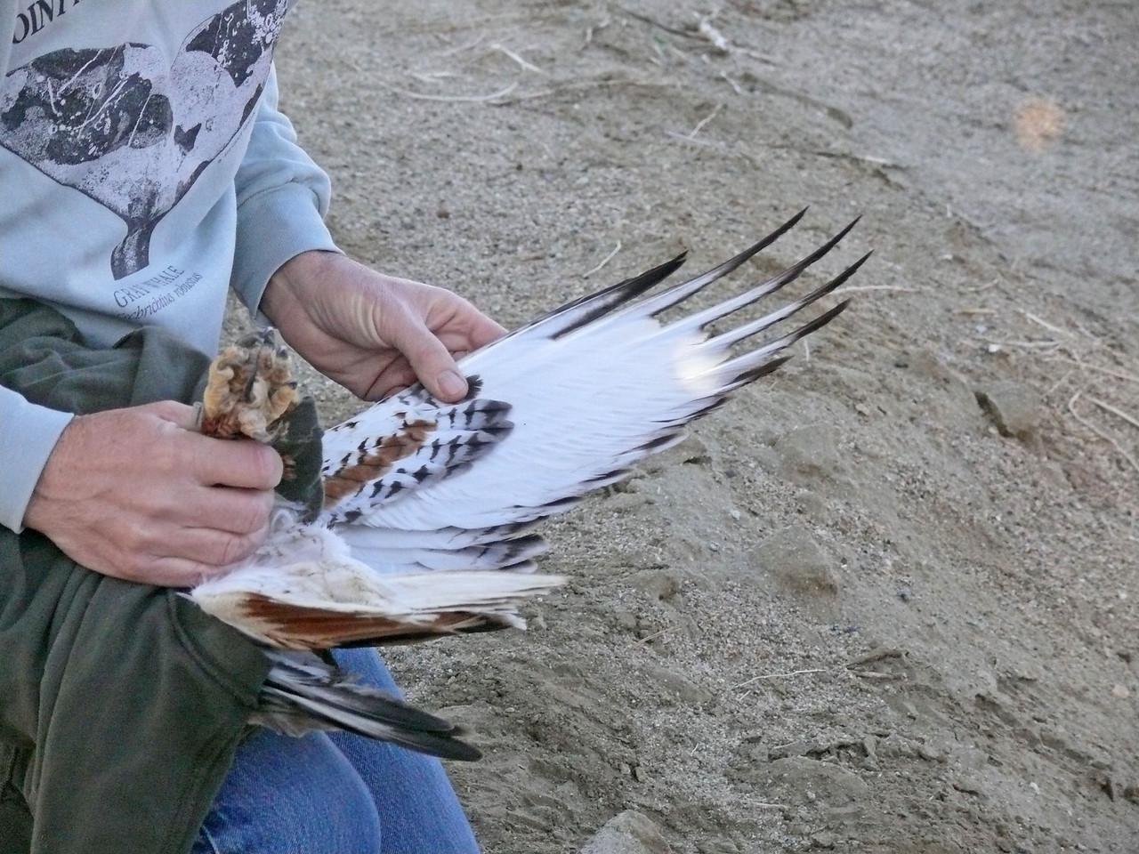 493 Ferruginous hawk