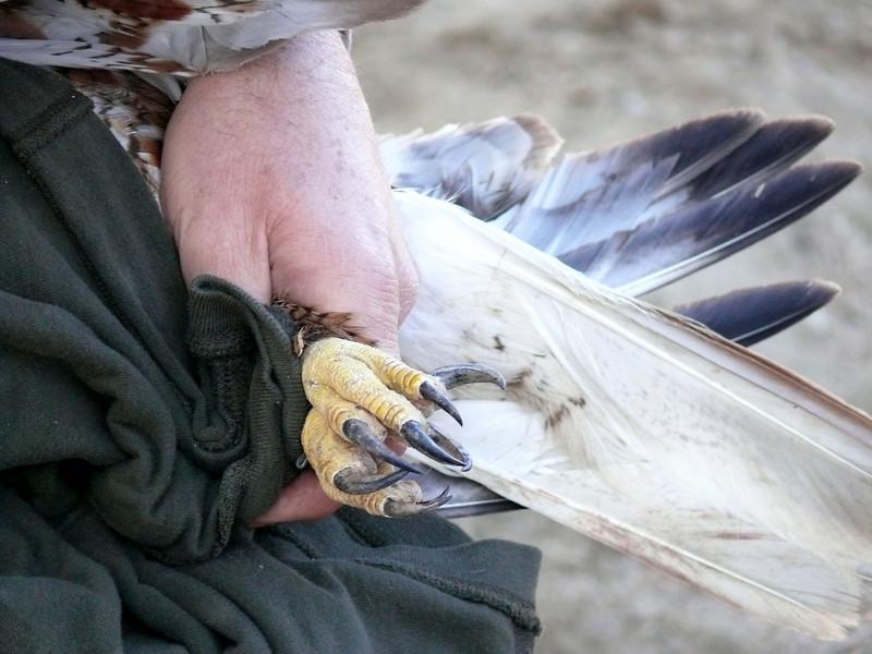501 Ferruginous hawk