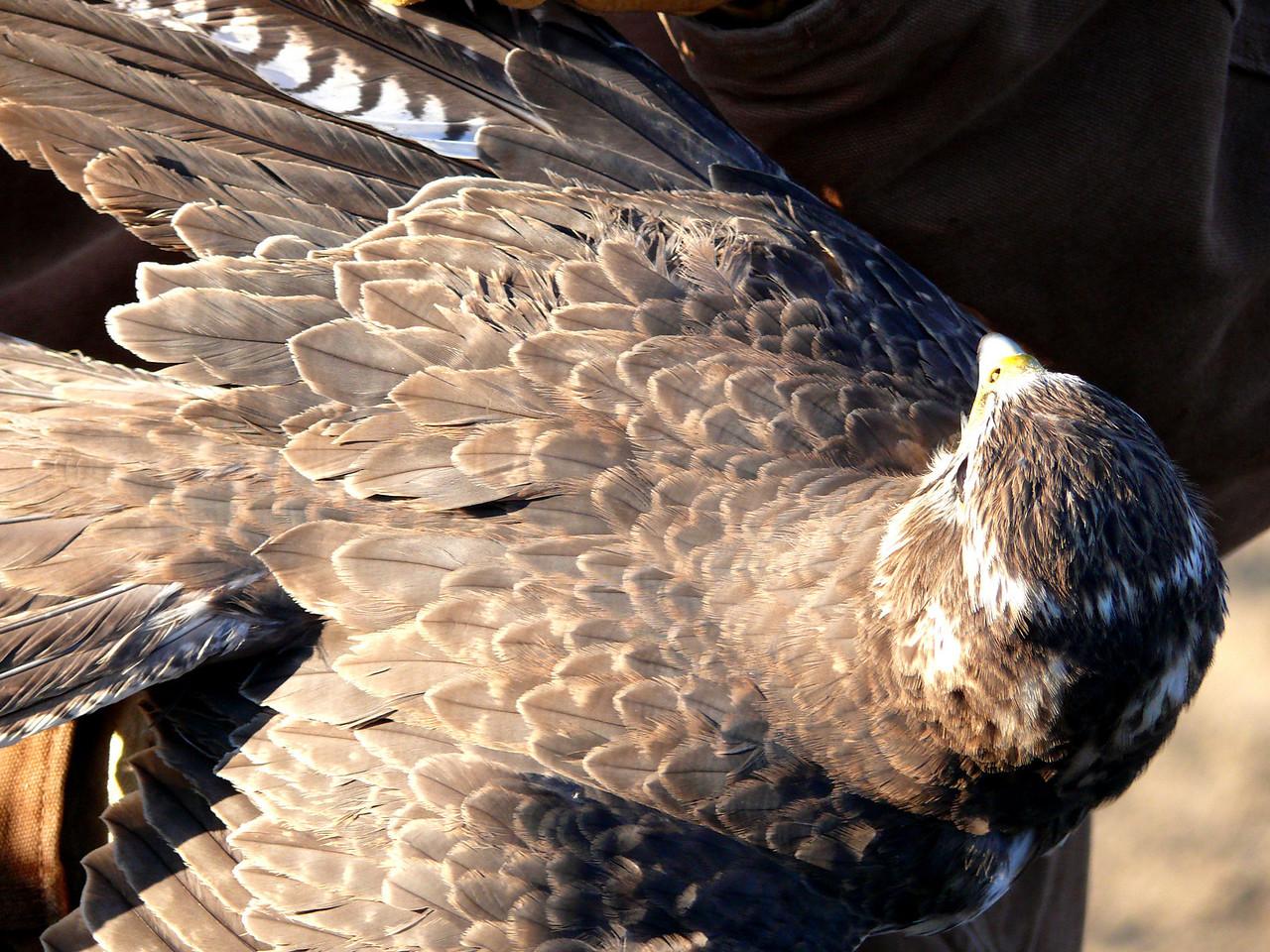 430 Prairie Falcon