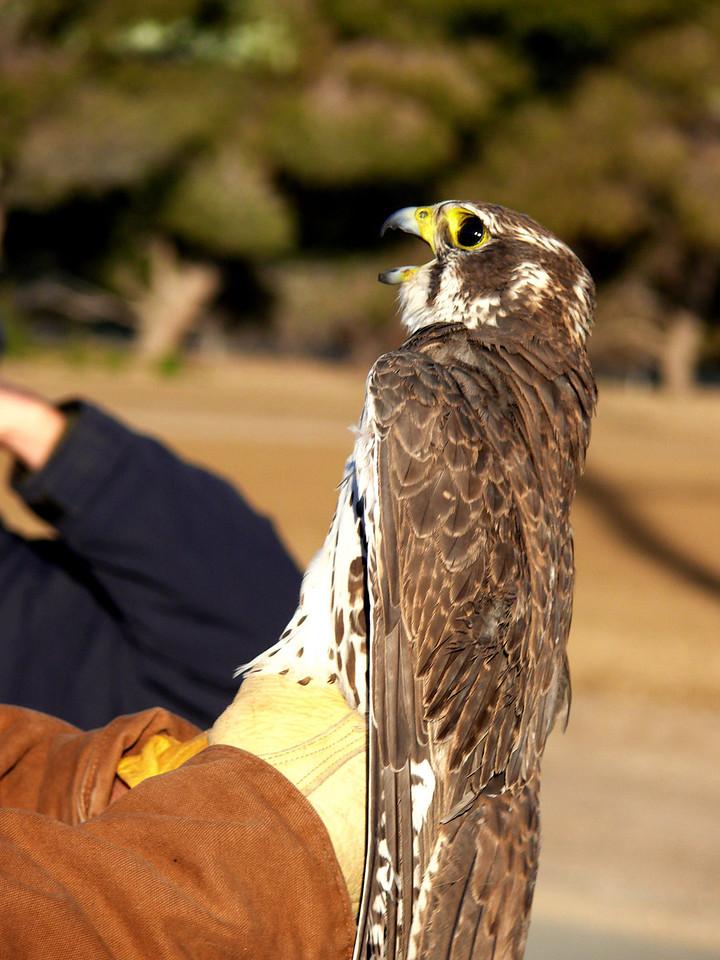 440 Prairie Falcon