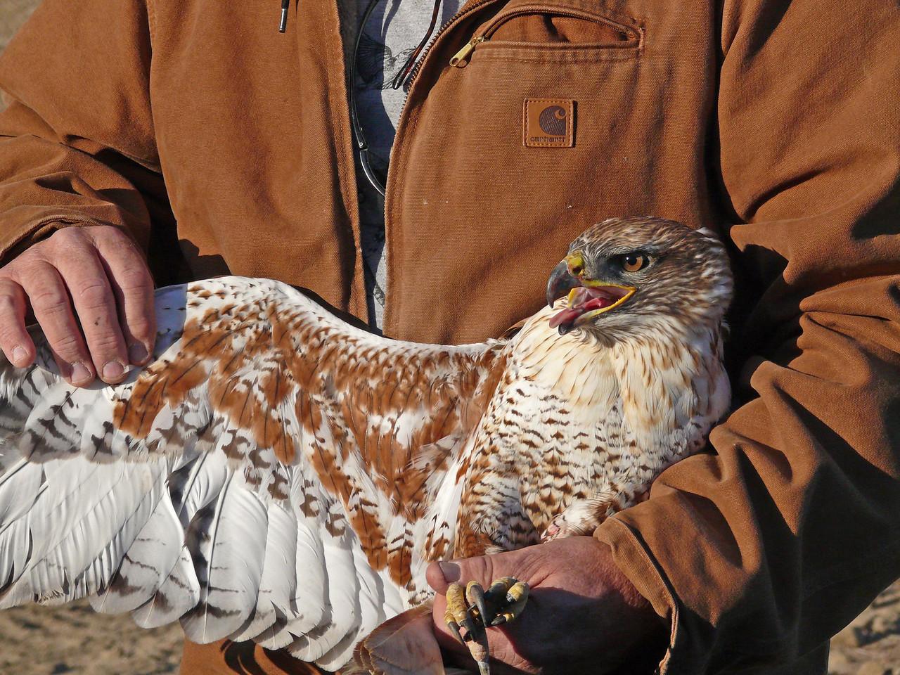 467 Ferruginous hawk