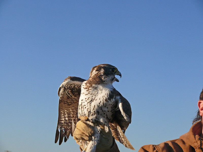 431 Prairie Falcon