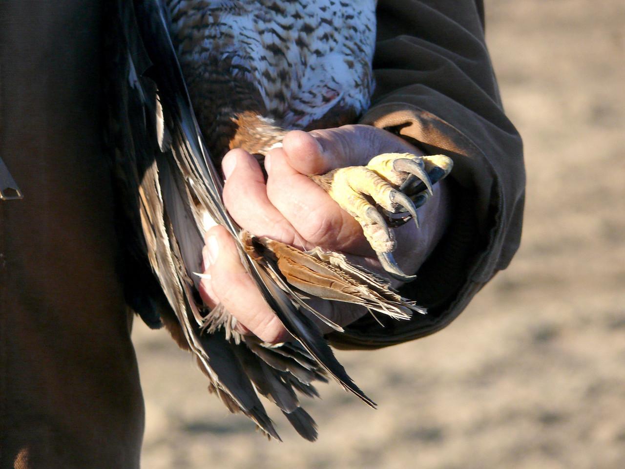 479 Ferruginous hawk