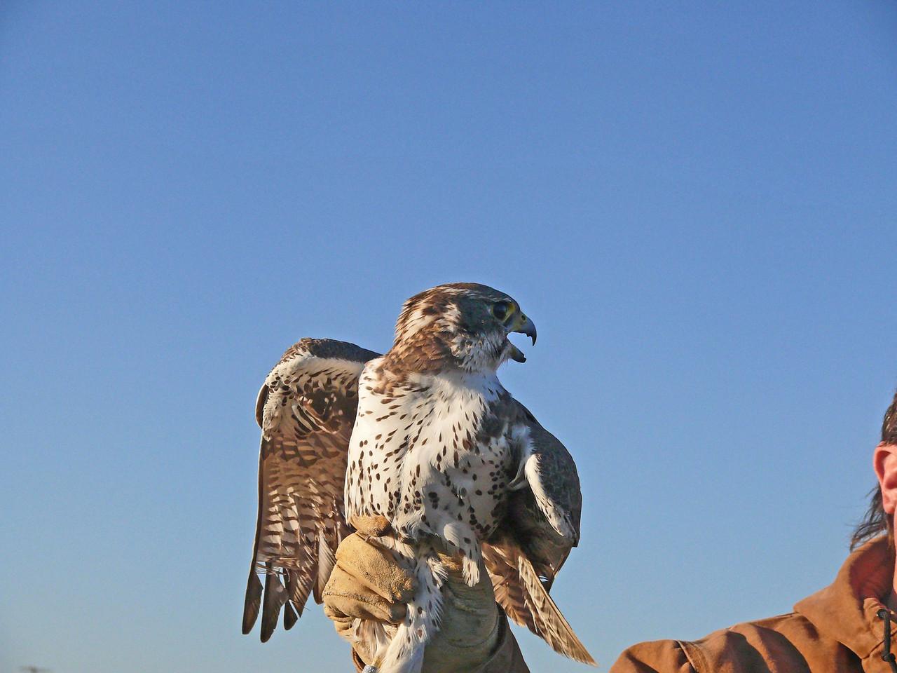 431-2 Prairie Falcon