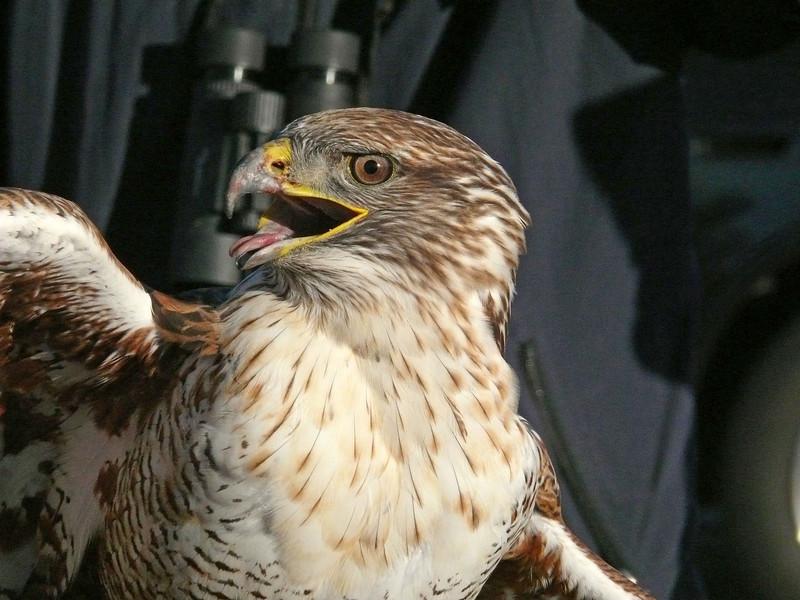 503 Ferruginous hawk