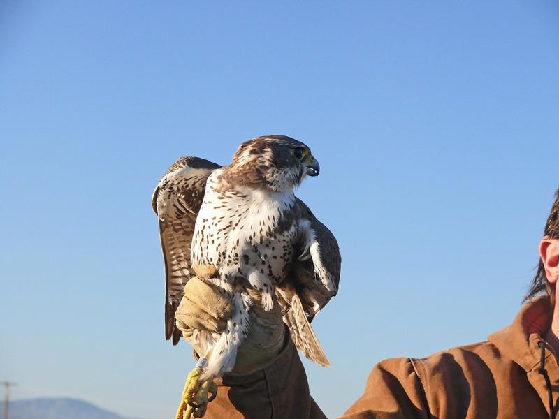 433 Prairie Falcon