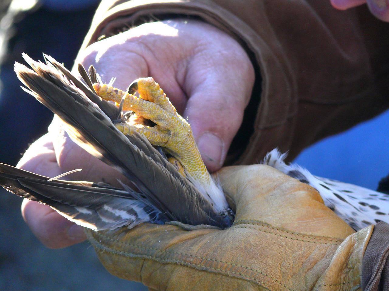 414 Prairie Falcon